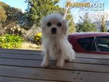 Maltese x Shihtzu Puppies 1 White Male only avail