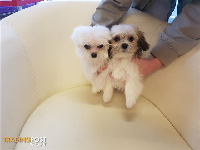 Maltese x Shihtzu Puppies 2 Males only avail