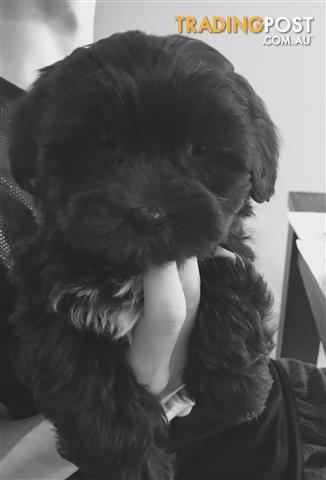 Shoodle Male Puppy  Shihtzu Toy Poodle
