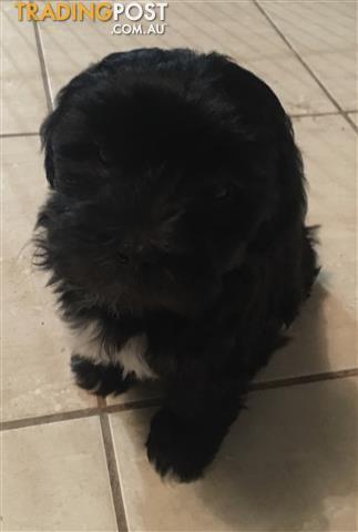 Shoodle Male Puppy  Shihtzu Toy Poodle