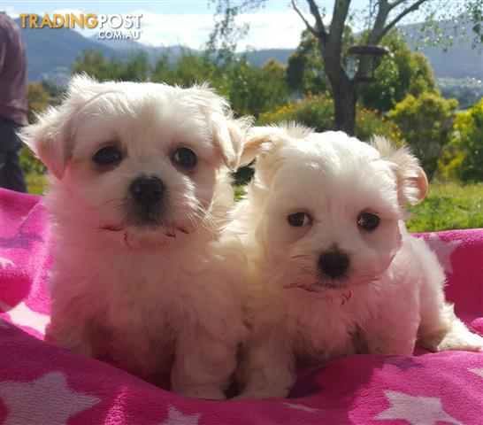 Maltese x Shihtzu Puppies 4 Female 1 Male