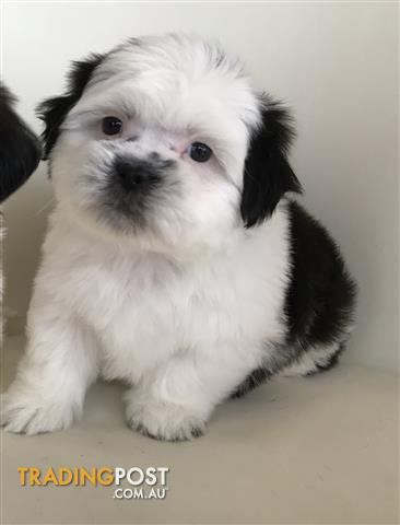 Moodles Maltese x Toy Poodle 1 Male Only Available