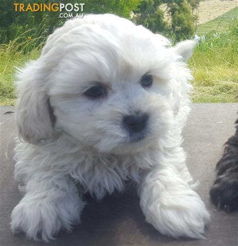 Shoodles Shihtzu x Toy Poodle White Male Only