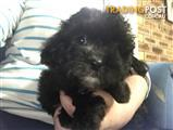 Moodle Maltese x Toy Poodle Female x 1