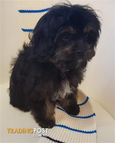 Cavoodles Cavalier x Toy Poodles 1 Male Only
