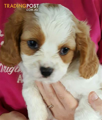 Pure Bred Cavalier Ruby & White Male