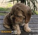 Cockatzu  Golden Cocker Spaniel x Shihtzu Male