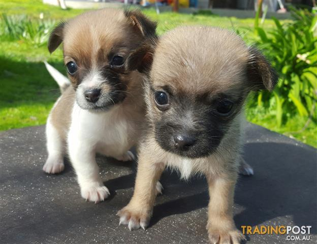 Chihuahua x Shihtzu Puppies Male & Female