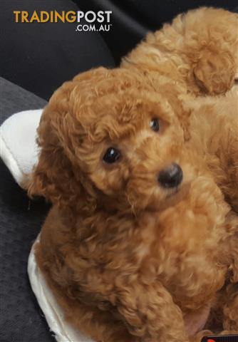 Pure Bred Toy Red Poodle Female Male