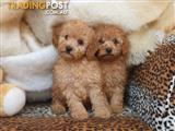 Excellent Purebred Toy Poodle Puppies.