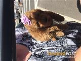 Rare red toy poodle