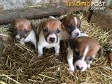 MINITURE FOX TERRIER JACK RUSSELL X PUPPIES