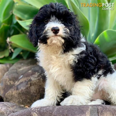 Black And White Toy Cavoodle Puppy Hagrid