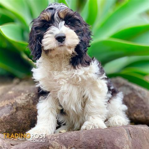 Male First Gen Black And White Toy Cavoodle Harry