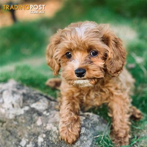 1st Generation Toy Cavoodle Puppies Frankie
