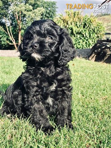 First Generation Male Black Toy Cavoodles Harper
