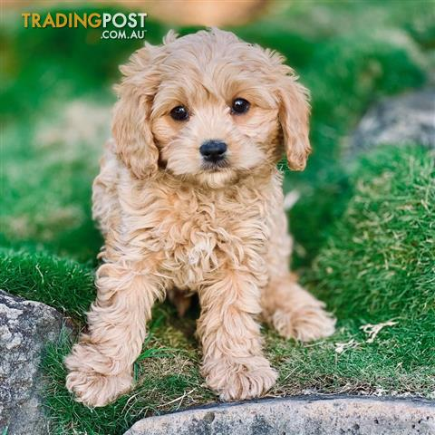 1st Generation Toy Cavoodle Puppies Franklin