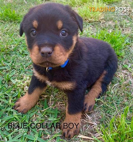 4 Rottweiler Pups 1200 00 Qld