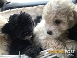 2x Toy Poodles- 1 male & 1 female- Microchipped & Vaccinated