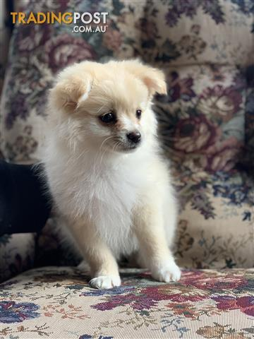 Pomeranian-Pure-Bred-Puppies-Male-x-2-Female-x-1-SOLD-Woodend-Vic