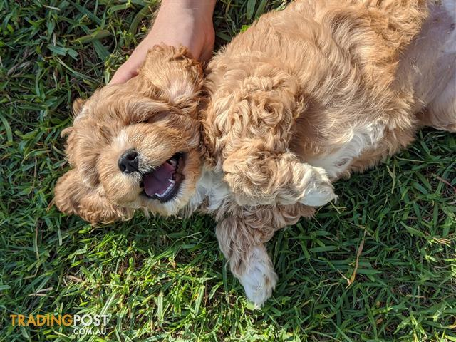 Gorgeous Fluffy Cavoodle Puppies