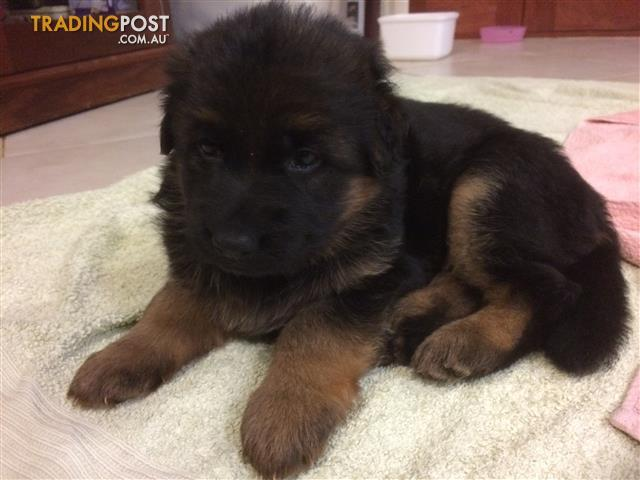 Pedigree German Shepherd (Long Haired) Puppies For Sale