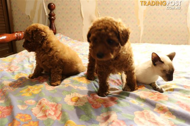 Tiny toy poodles for sale brisbane