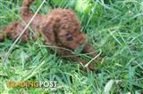 Toy Poodle puppies 1 red girl left