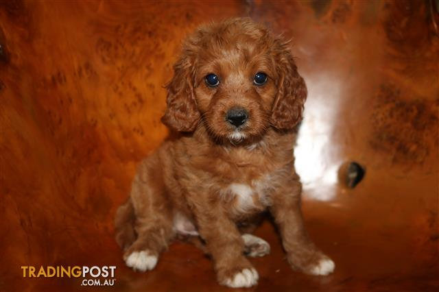 1 gorgeous Cavoodle girl ready NOW