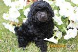 Black female toy poodle puppy ready now 0417369369
