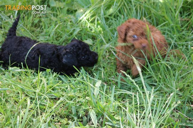 Toy Poodle puppies ready soon