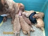 Cavoodle puppies ready soon 0417369369