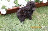 Cocolate male toy poodle puppy