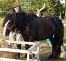 8 Year Old Black Cob Mare