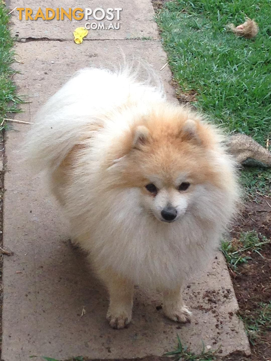 purebred pomeranian puppies pomeranian purebred puppies for sale in blacktown nsw 2117