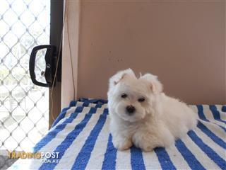 Find Maltese puppies for sale in Australia