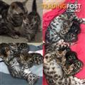 Bengal Kitten Pedigree Registered