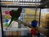 Handreared Blue Headed Lorikeets