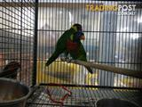 Handreared Green Naped Lorikeets