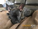 French Bulldog x Pug