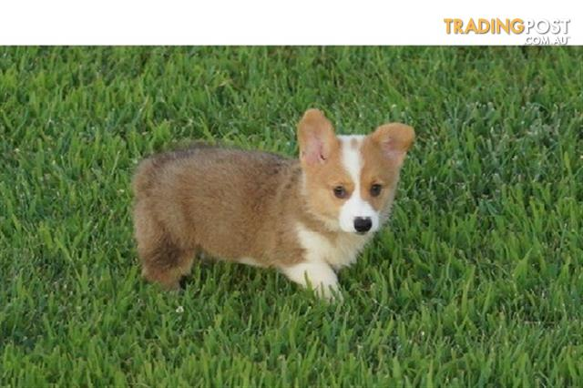 Absolutely Stunning Pembroke Welsh Corgi Puppies Available