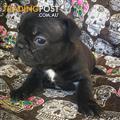 Pedigree French Bulldog Puppies