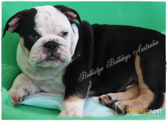RARE COLOURED BRITISH BULLDOG PUPPIES for sale in Windsor Downs NSW | RARE COLOURED BRITISH ...