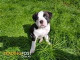 American Staffy Puppies for sale
