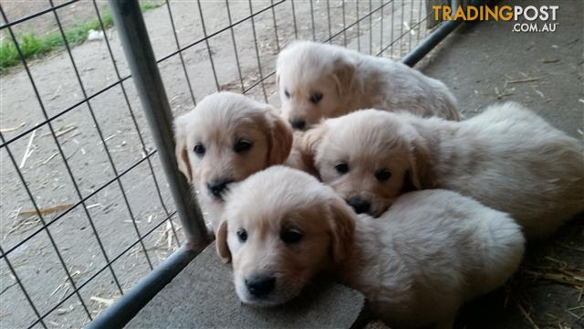 Golden retriever pups male and female for sale