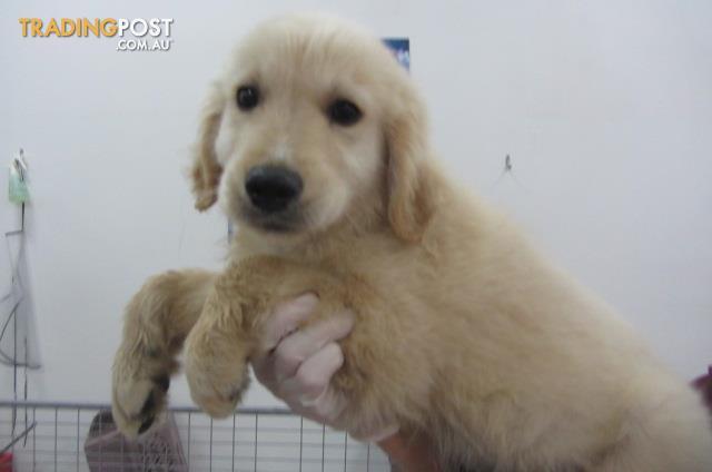 Golden Retriever Male Pup Puppyworld