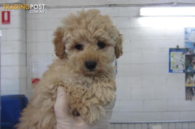Toy-xMini-Poodle-Female-Pup-Puppyworld