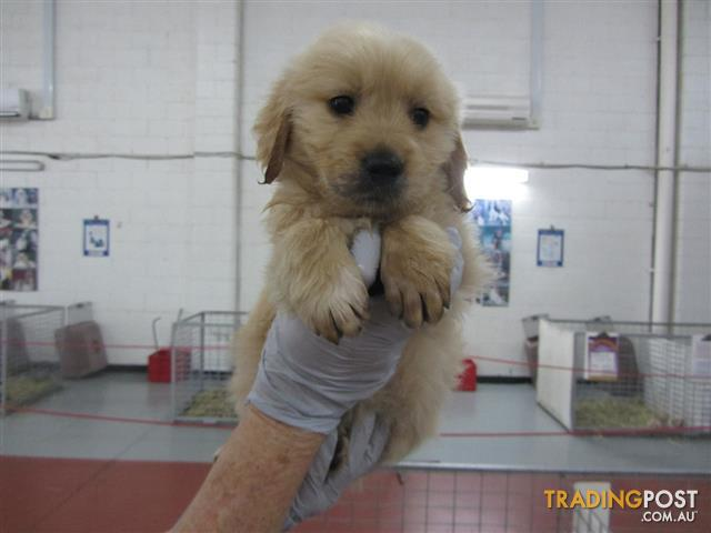 Golden Retriever Male Pup Puppyworld For Sale In Underwood Qld