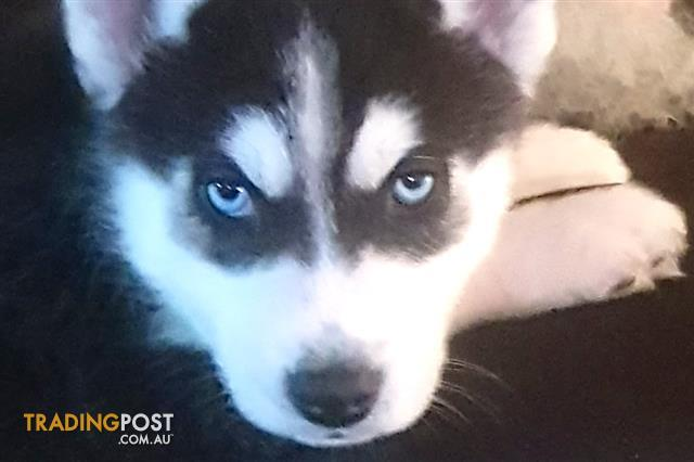 DNA-Certified-Siberian-Husky-Pups-Imported-Bloodlines-Grey-Red-Black-White