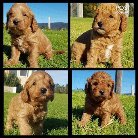 Cavoodle - Poodle x King Charles Cavalier